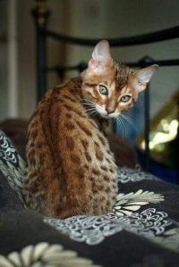 lillit cat